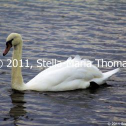 willen-lake-swans-013_6607649371_o