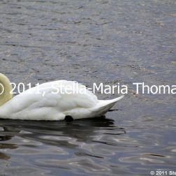 willen-lake-swans-014_6607650139_o