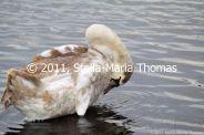 willen-lake-swans-015_6607650673_o