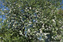ahvenisto-blossom-050_34339100524_o