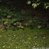 le-manoir-aux-quatsaisons-garden-031_26770826109_o