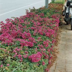 bougainvilia-hedge-001_435570614_o