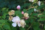 brighton-pavilion-late-summer-roses-001_2860705204_o