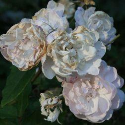 brighton-pavilion-late-summer-roses-002_2860705472_o