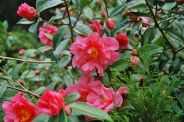 camellia-001_123583883_o