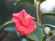 camellia-001_391395486_o