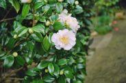 camellia-002_123583914_o