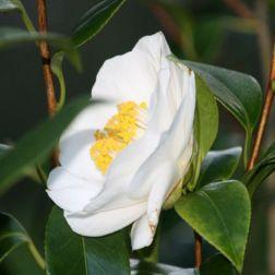camellia-002_391395516_o