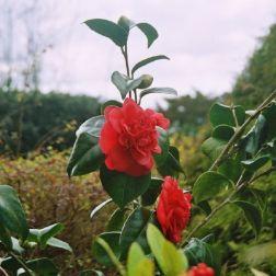 camellia-003_123583942_o