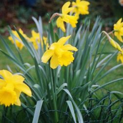 daffodils-001_123584017_o