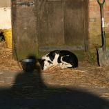 farm-dog-001_391395978_o