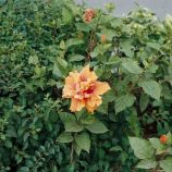 hibiscus-flowers-001_435571322_o