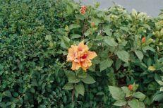 hibiscus-flowers-001_435571322_o
