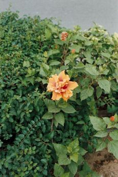 hibiscus-flowers-002_435571416_o