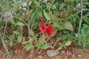 hibiscus-flowers-003_435572445_o