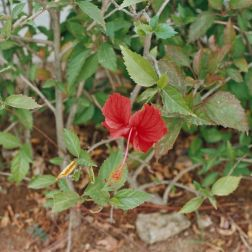 hibiscus-flowers-003_435572445_o