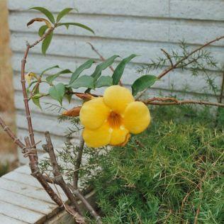 hibiscus-flowers-004_435571562_o