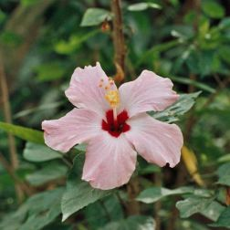 hibiscus-flowers-005_435572567_o