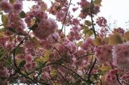 london-april-2008-cherry-blossom-001_2435302947_o