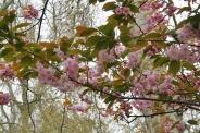 london-april-2008-cherry-blossom-002_2435303091_o