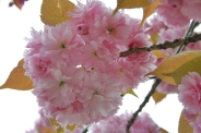 london-april-2008-cherry-blossom-003_2435303161_o