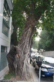 macau-trees-003_2054660580_o