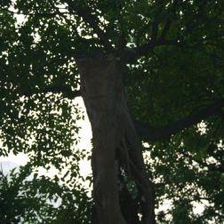 macau-trees-004_2053877103_o