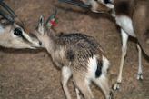 marwell-zoological-park---dorcas-gazelles-001_3074839635_o