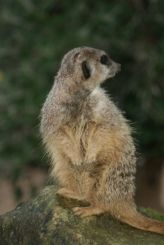 marwell-zoological-park---meerkats-015_3074873365_o