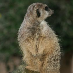 marwell-zoological-park---meerkats-015_3074873365_o