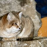 marwell-zoological-park---sand-cats-008_3075698066_o