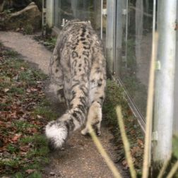 marwell-zoological-park---snow-leopard-003_3075698848_o