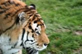 marwell-zoological-park---tiger-003_3074865967_o