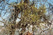 mistletoe-001_61176341_o