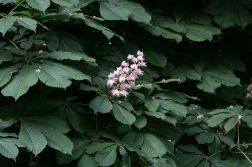 monza---horse-chestnuts-001_2499163083_o