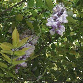 monza---wisteria-001_2499070523_o