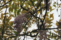 monza---wisteria-002_2499070735_o