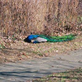 peacock-001_112973789_o
