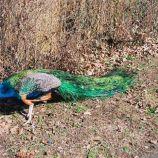 peacock-003_112973850_o
