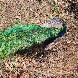 peacock-004_112973888_o