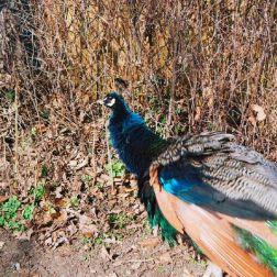 peacock-005_112973925_o