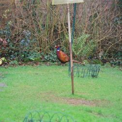 pheasant-001_104082978_o