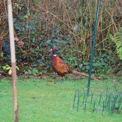 pheasant-002_104082994_o