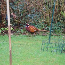 pheasant-003_104083029_o