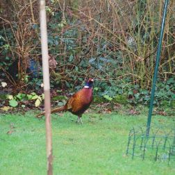 pheasant-004_104083047_o