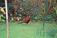 pheasant-005_104083080_o