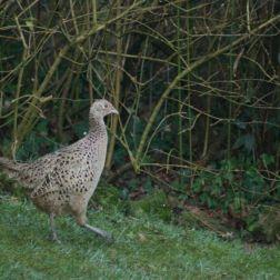 portishead-pheasant-001_391396372_o