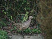 portishead-pheasant-002_391396420_o