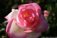 rose-garden-monte-carlo-024_5092825740_o
