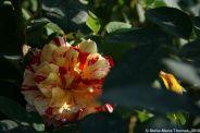 rose-garden-monte-carlo-027_5092826178_o